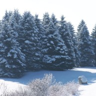 Augusta ME - Blue Spruce