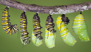 Caterpillarturning intoChrysalis