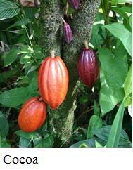 EquatorialGuinea-Cocoa