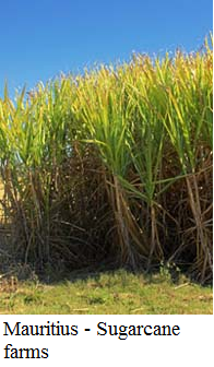 Mauritius - Sugarcane farms