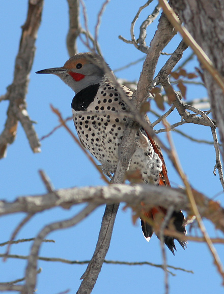 northern_flicker
