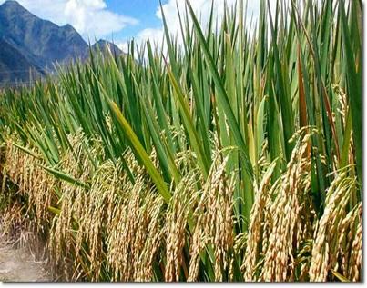 australia-rice-farm