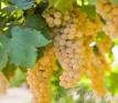 australian-grapes-jpeg